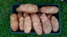 Картофель, выращенный в вёдрах