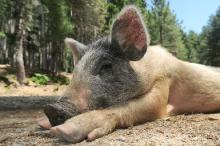 свинья упала на ноги