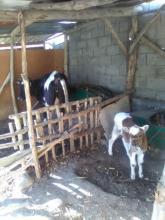 1 литр молока корова даёт, даже не хватает на телёнка