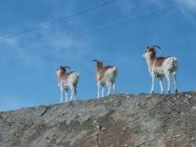Тяньшанские горные бараны архары, фото №2