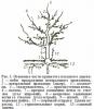 Строение и жизнь плодового дерева