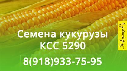 Семена кукурузы КСС 5290