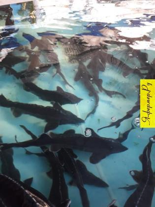 Осетр в бассейне. Осетровая рыба не имеет сбыта