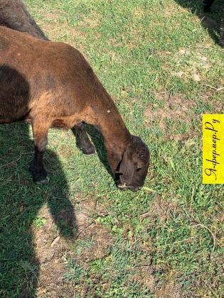 Помогите разобрать породу овец