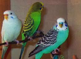 На фото - волнистые попугайчики.
